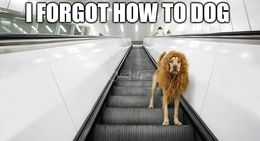 Dog disguised as a lion memes