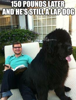 Lap dog memes